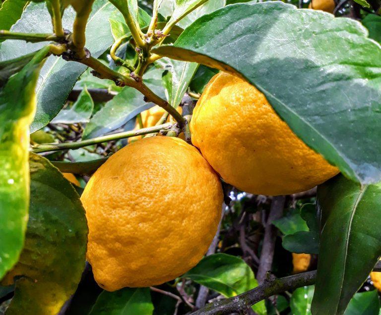 Lemons on a lemon tree - limoncello